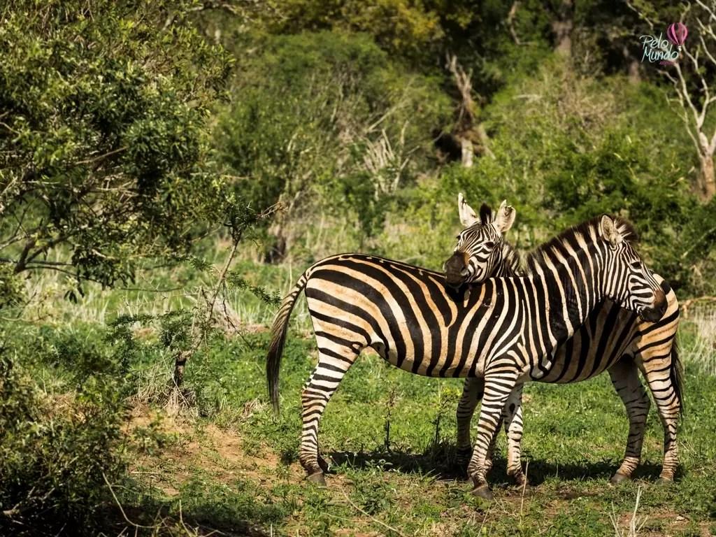 Duas zebras passeando no KRUGER PARQUE