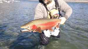 Huge Steelhead