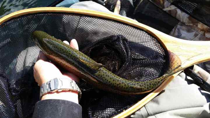 BC fly fishing reports