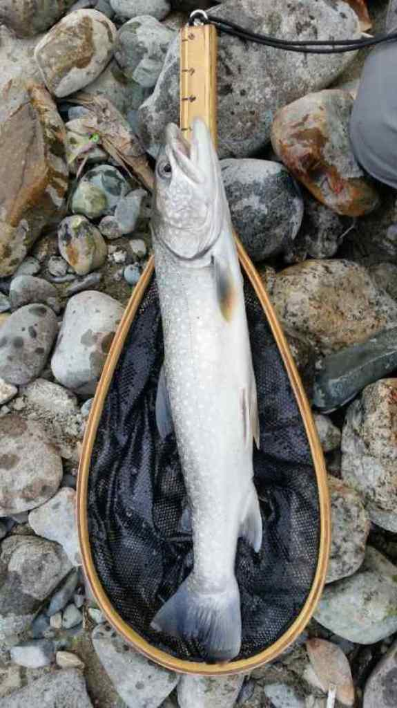 Birkenhead River Bull Trout caught While Fly Fishing