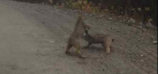 Lynx Battle
