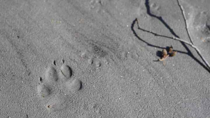 Wildlife tracks along the shoreline of the Lillooet River