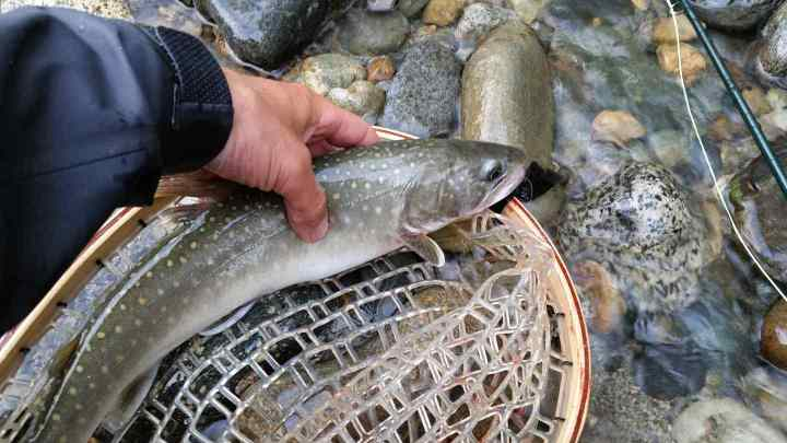 Fly fishing for Bull Trout on the Birkenhead River
