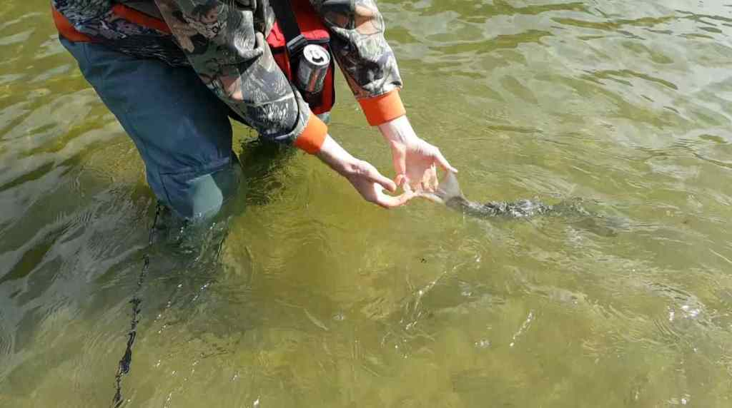 Bull Trout catch and release