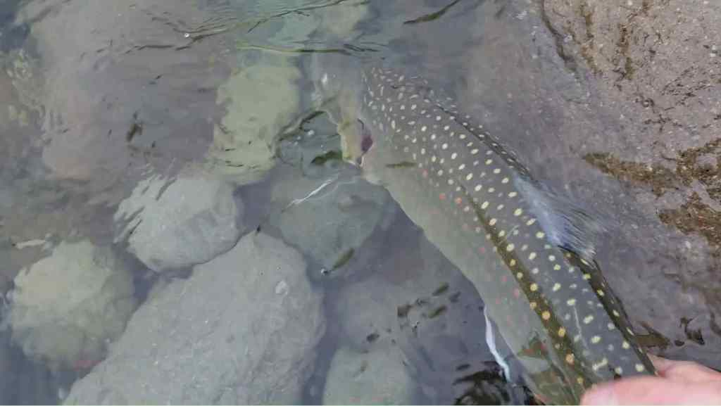 Fly fishing for Bull Trout