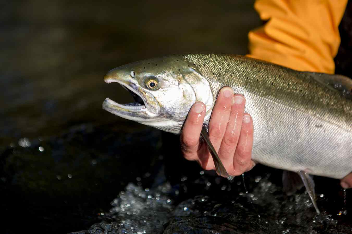 Coho Salmon Picture