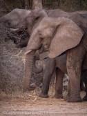 Elephant, Londolozi