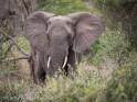 Elephant, Mala Mala
