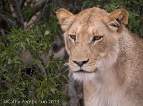 lion, Mala Mala