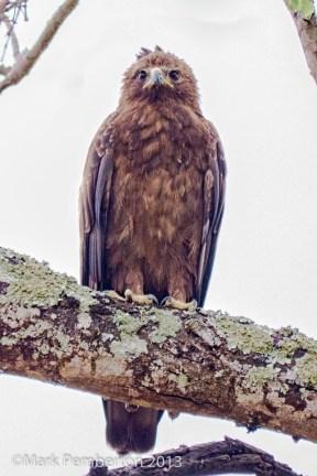 Warburg's Eagle
