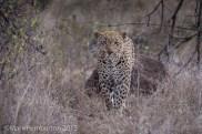 Leopard, Mala Mala
