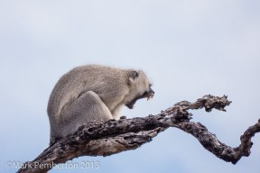 Vervet Monkey issuing a warning call.