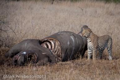 Rhino carcass, poaching, dead, leopard, Mala Mala