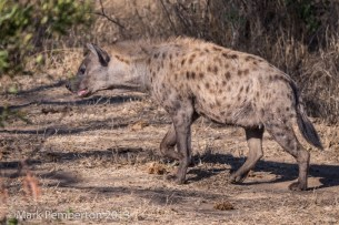 hyena, King's Camp
