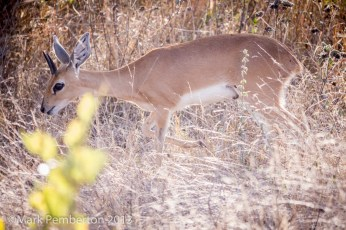 steenbok, King's Camp
