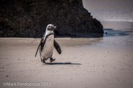 Penguin, Cape Town