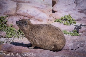 , Cape of Good Hope, Rock Hyrax, Cape Town