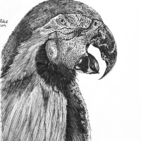 pen_ink_drawing_Macaw