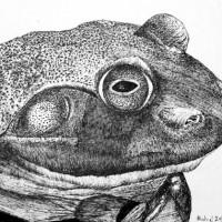 pen_ink_drawing_frog