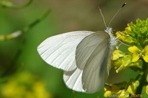 papillon-blanc