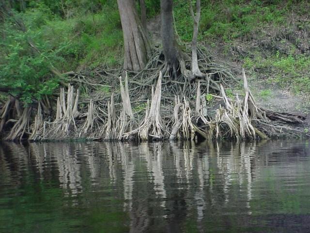 Suwannee River Cypress