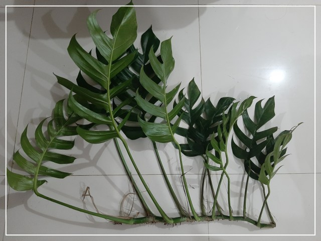 Monstera cuttings for planting