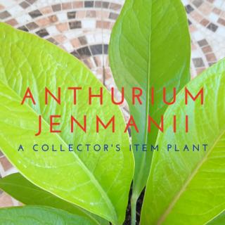 ANTHURIUM JENMANII cardboard