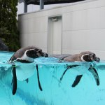 鳥羽水族館のペンギン写真