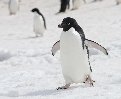 アデリーペンギンが雪の上を歩いている写真