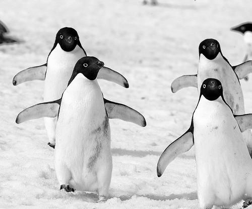 南極のアデリーペンギンの画像