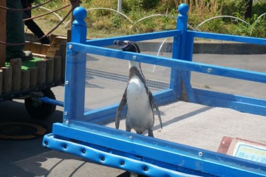 ドナドナ状態の「フンボルトペンギン」