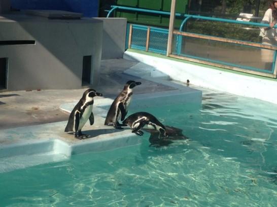 野毛山動物園のフンボルトペンギンの写真