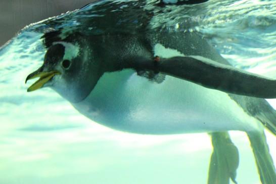 ガラス越しに動くものを追いかける名古屋港水族館のジェンツーペンギン
