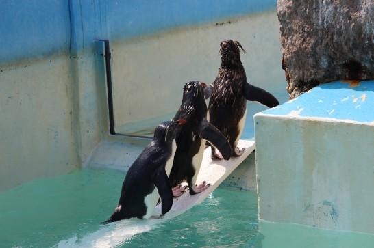 橋の上に連なるイワトビペンギン