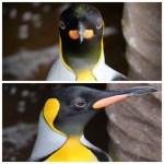キングペンギンの正面と横顔