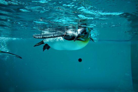 気持ち良さそうに泳ぐキングペンギン