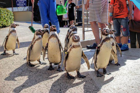 フンボルトペンギンのお散歩タイム
