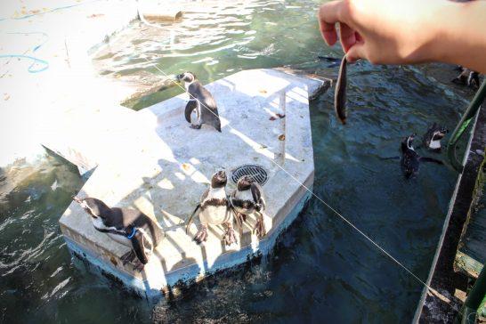小魚を見つめるフンボルトペンギン