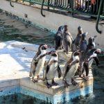 お魚を待つフンボルトペンギン