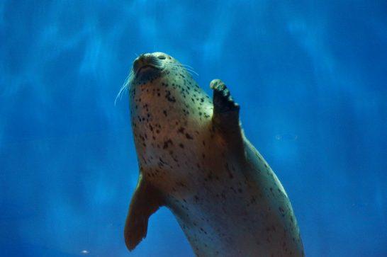 手を振るアザラシ/うみの杜水族館