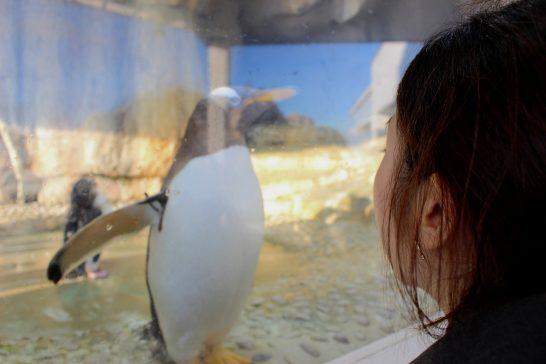ガラス越しのジェンツーペンギン/うみの杜水族館