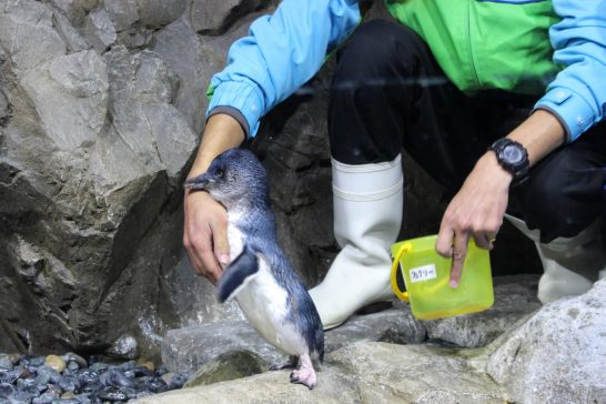 飼育員に甘えるコガタペンギン/うみの杜水族館