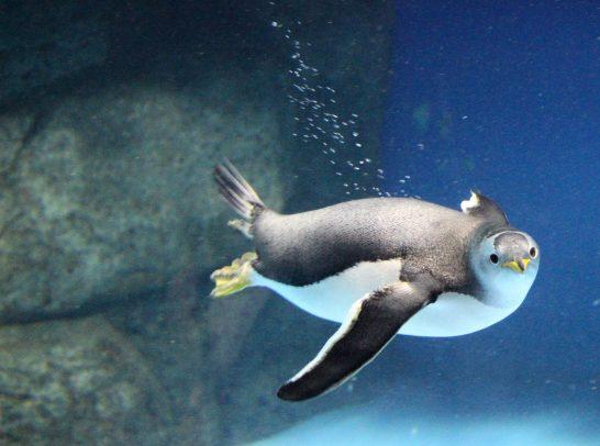 動くものに興味深々なジェンツーペンギン