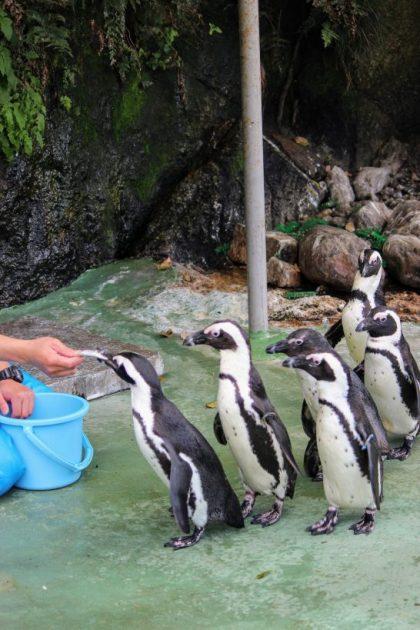 ケープペンギンの行列