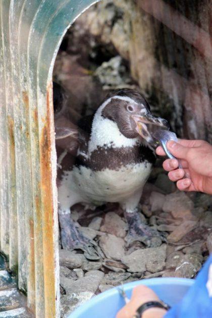 アジを丸呑みするフンボルトペンギン