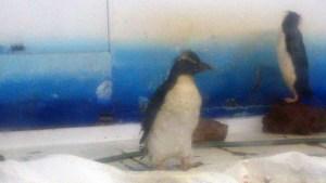 サンピアザ水族館のイワトビペンギン201808_8