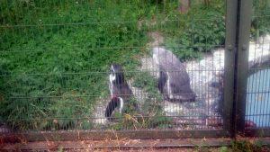 円山動物園のフンボルトペンギン1