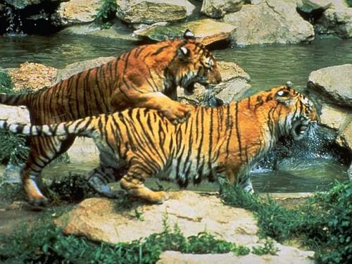 Популяция тигров
