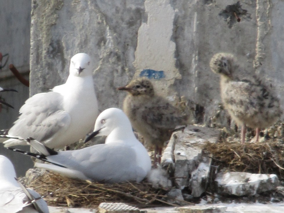 Black billed gulls and chicks