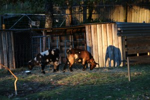 Goats, Chickens, Bees and miniature goats
